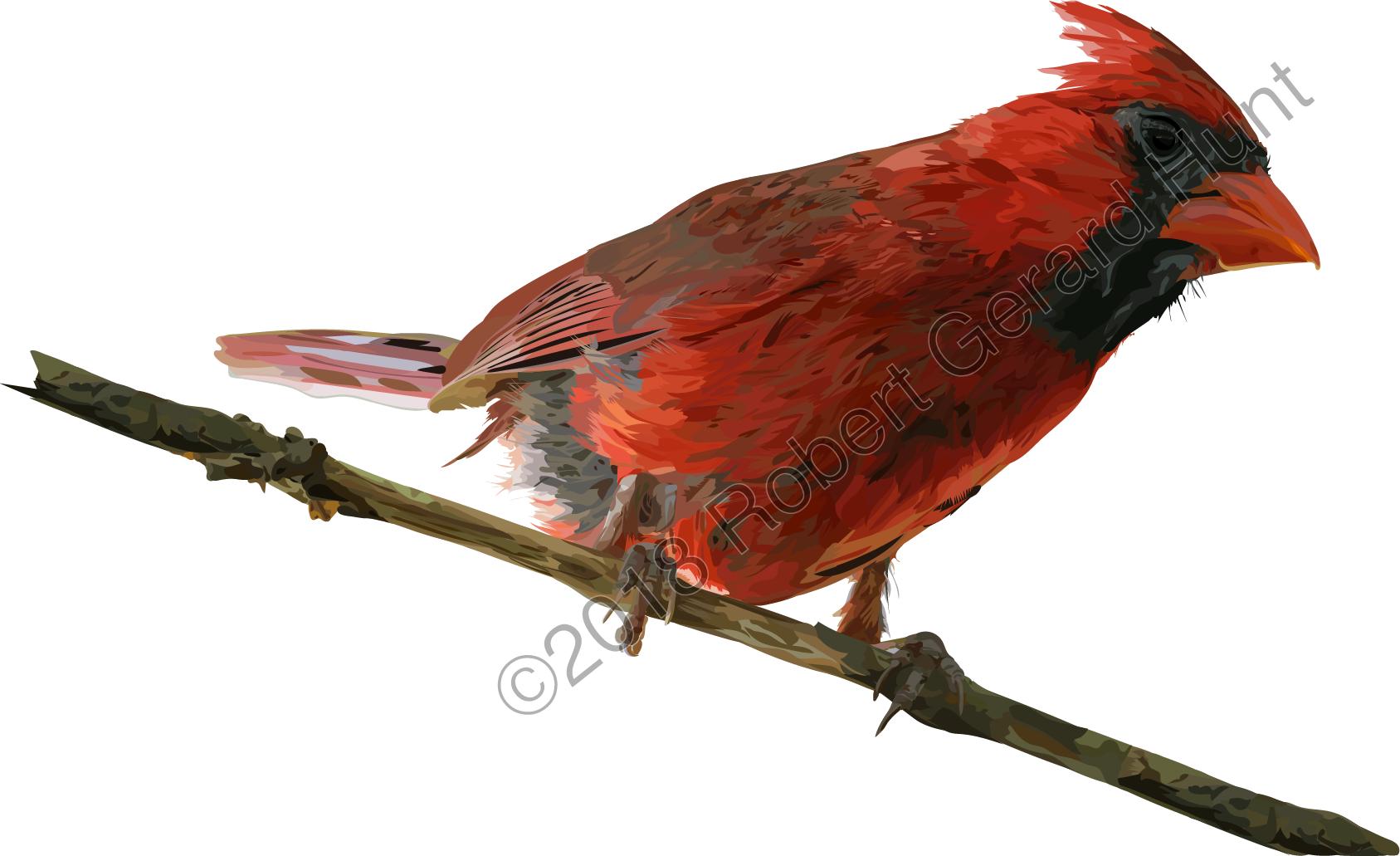 Cardinal_Adobe_Ilustrator.png