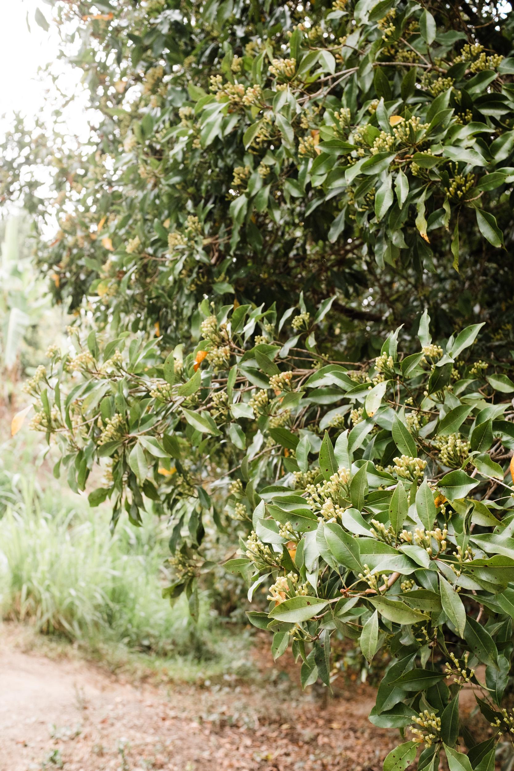 Nelkenbaum auf Bali