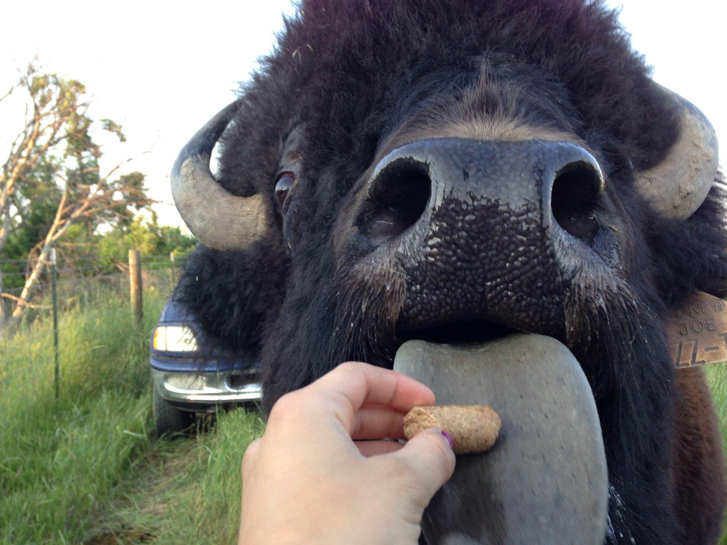 buffalo-LH.jpg