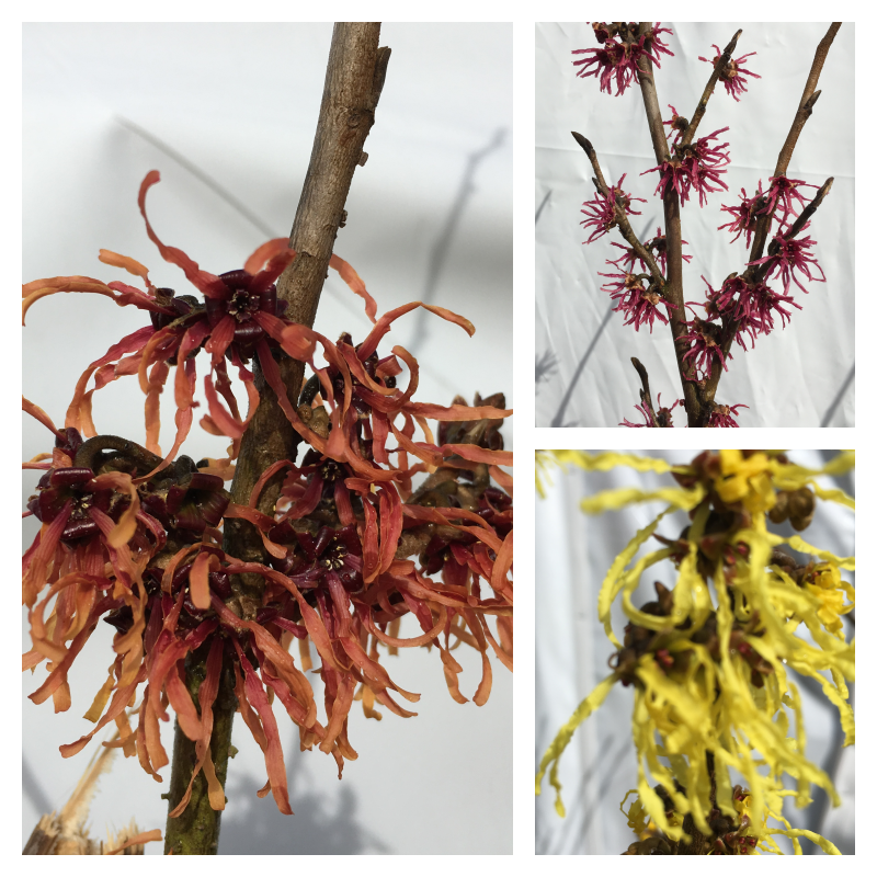Witch Hazel Collage.png