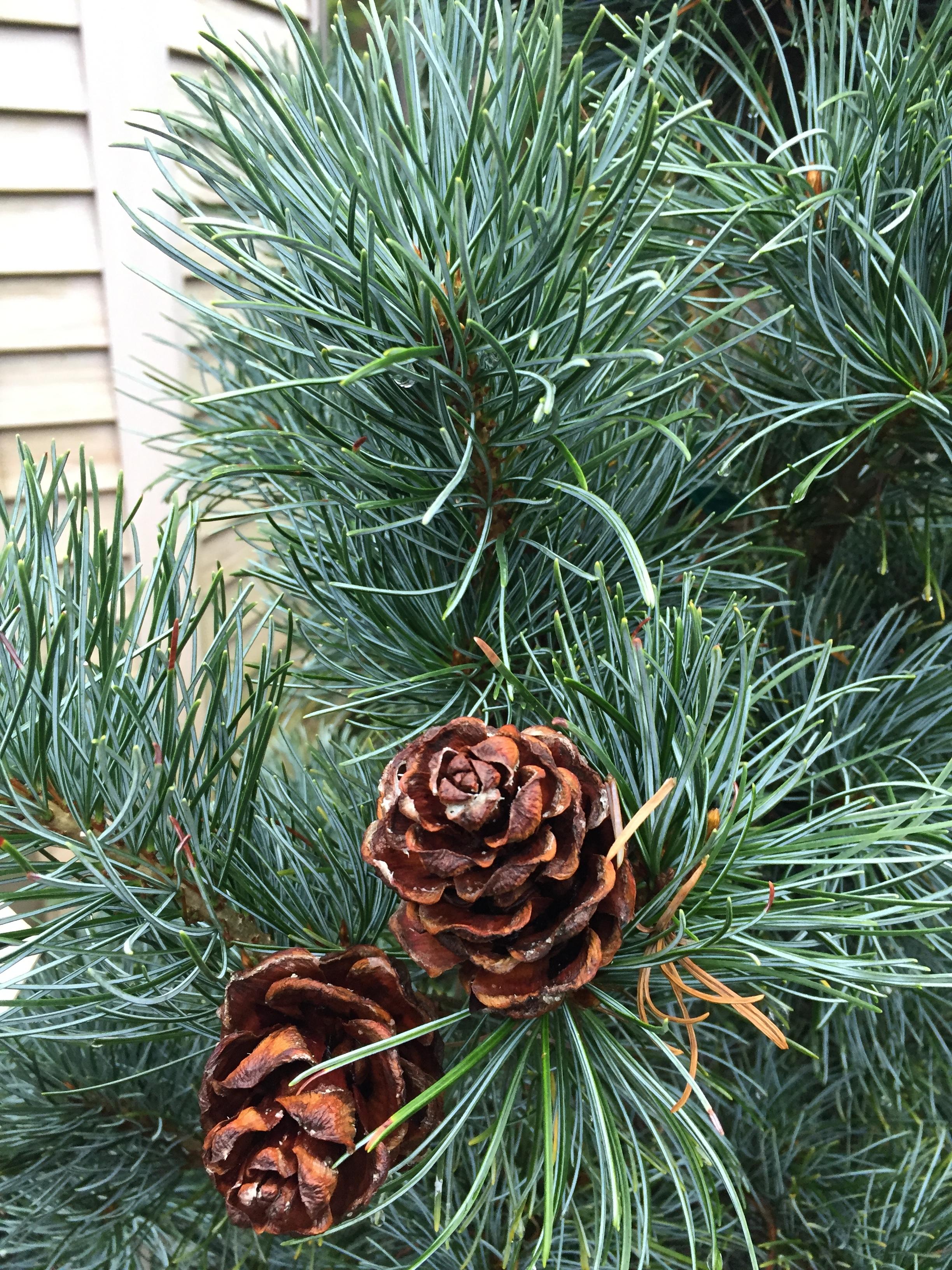 Pinus parvilfora 'Blauer Engel' -