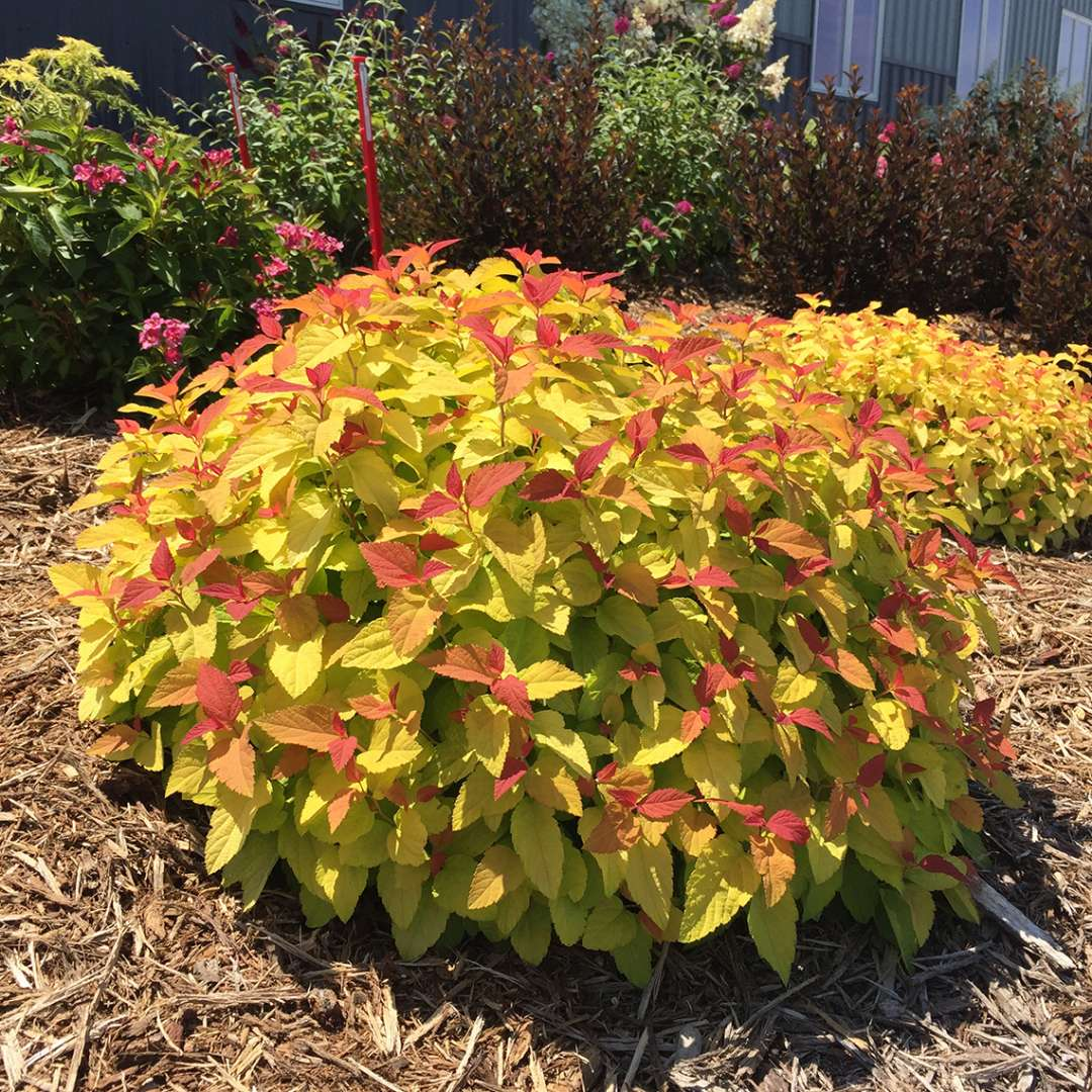 SPIREA DOUBLE PLAY® CANDY CORN®