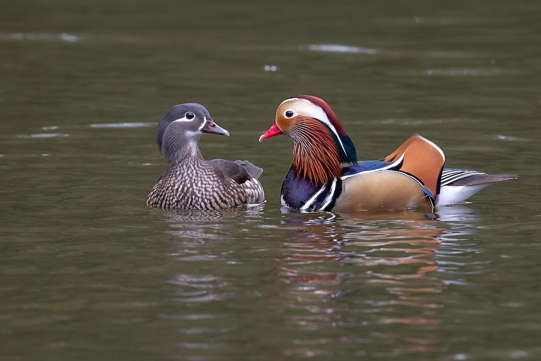Female & Male Maderin Ducks