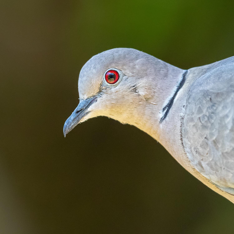 Collard Dove Portrait