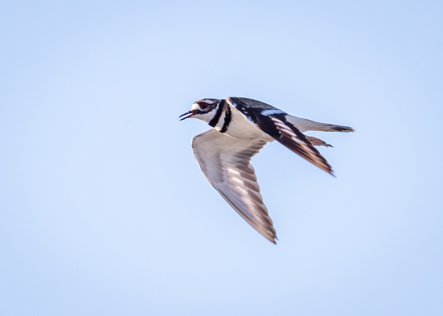 Killdeer flight