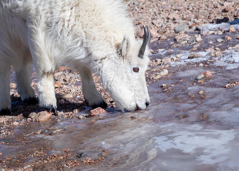 Mountain Goat Licking Salt