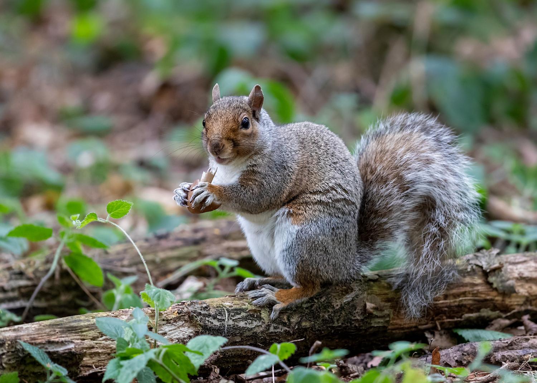 Grey Squirrel Eating Mushroom