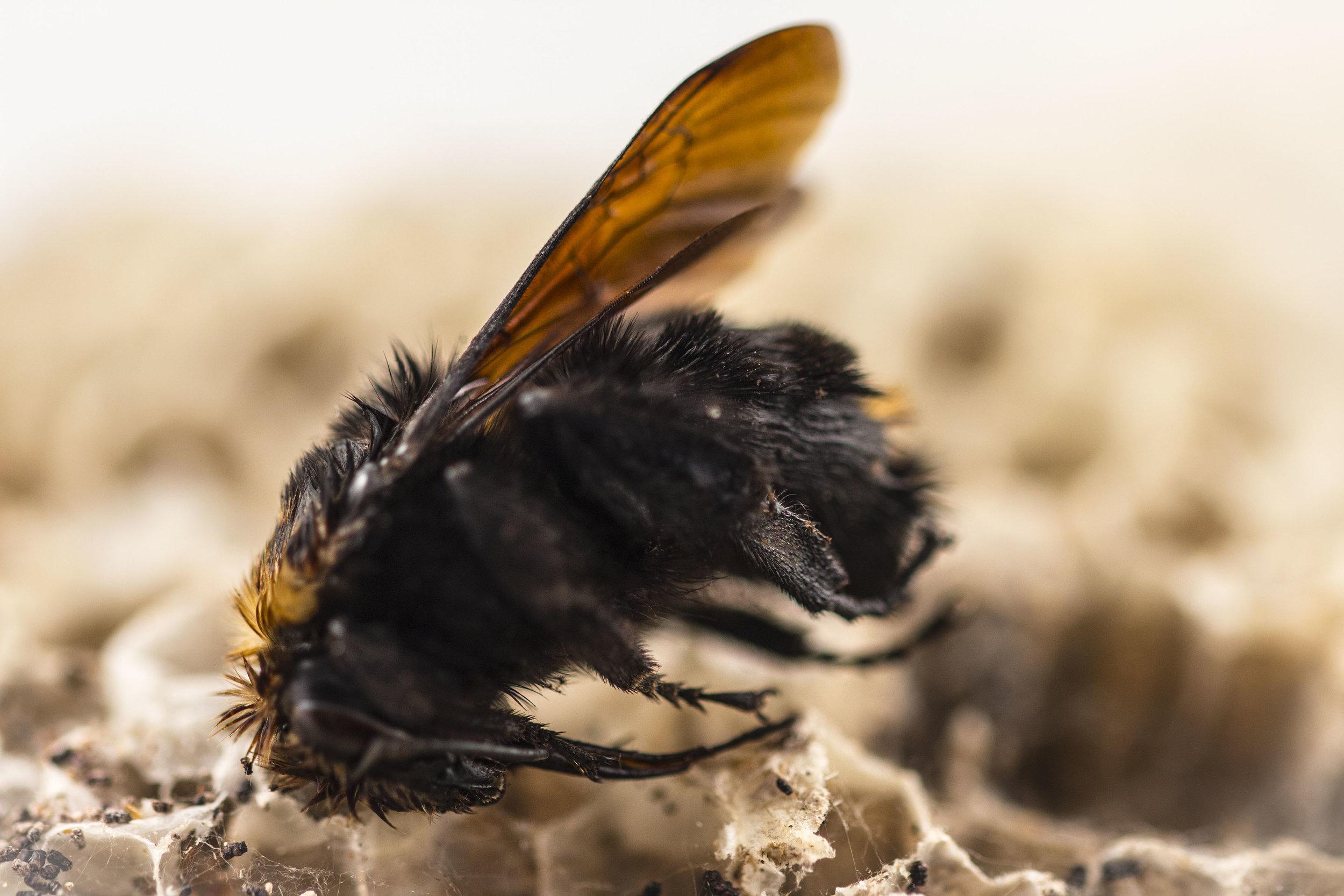 Bee exoskeleton and expired honeycomb
