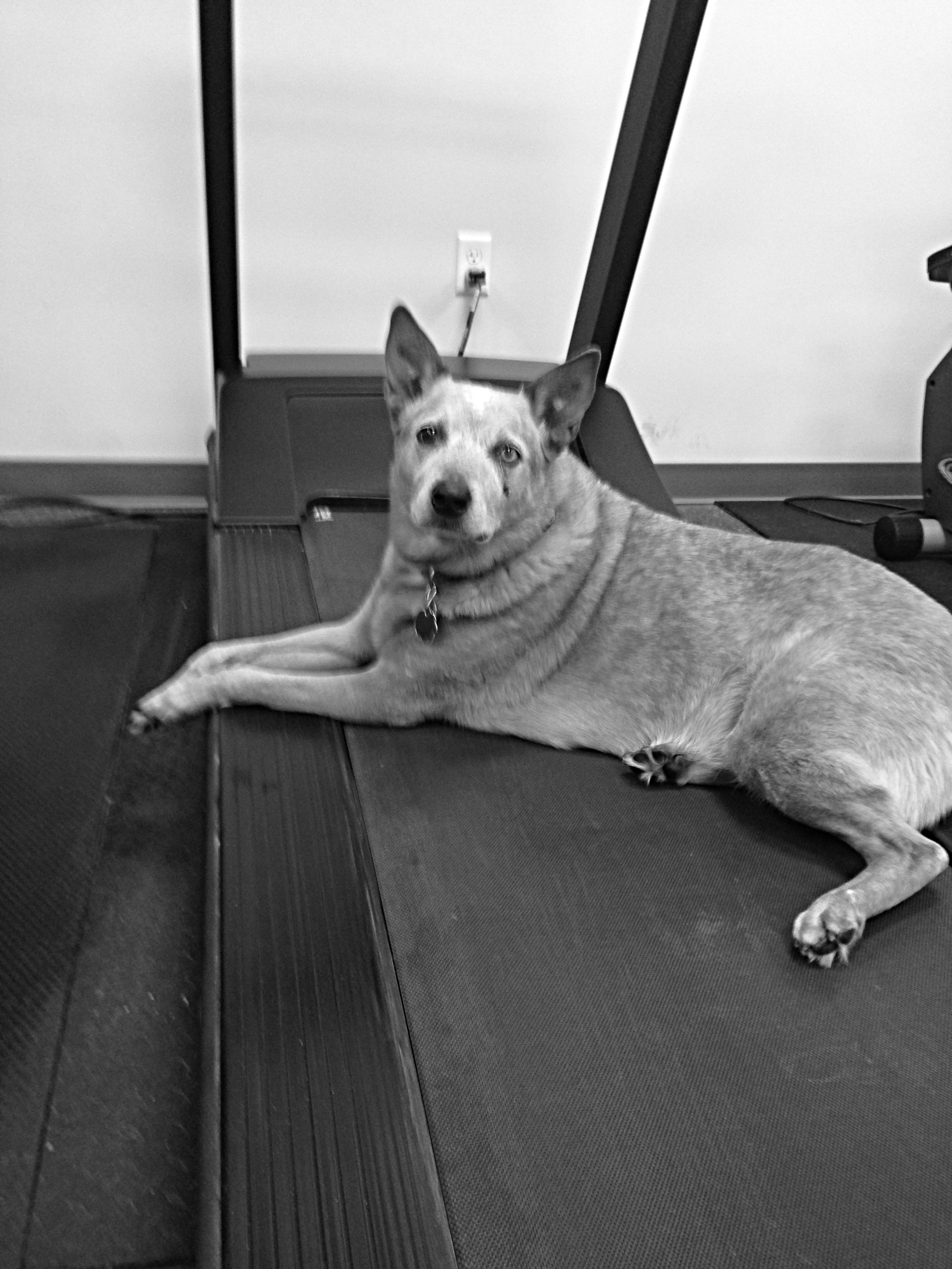 Pickles showing off our treadmill