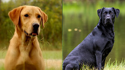 Monte and Apsen Puppies Due Soon!