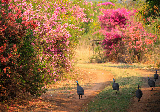 Guinea fowl walking on a farm road by Martie Swart