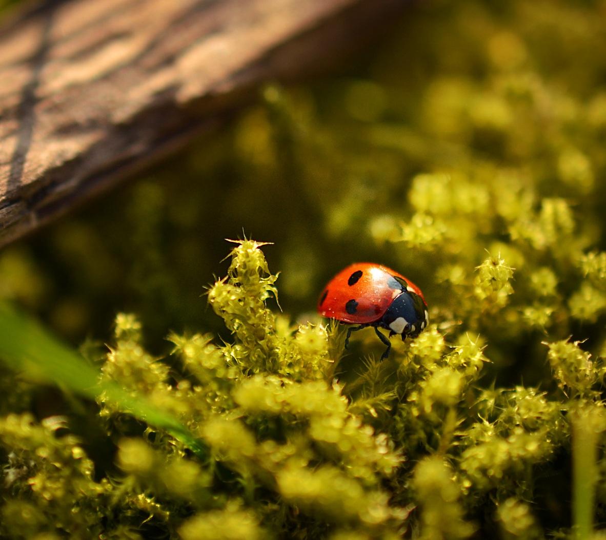 Ladybug or Ladybird