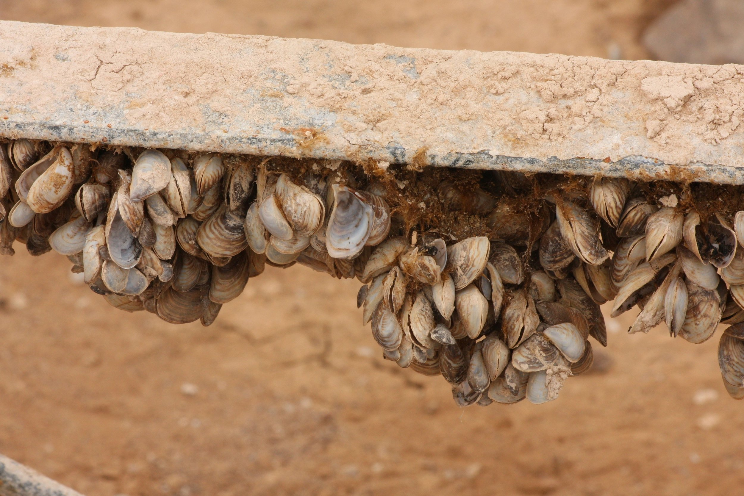 A maginified view of Quagga mussels on a marina support structure now above the waterline. Credit ©: J. N. Stuart via Flickr.