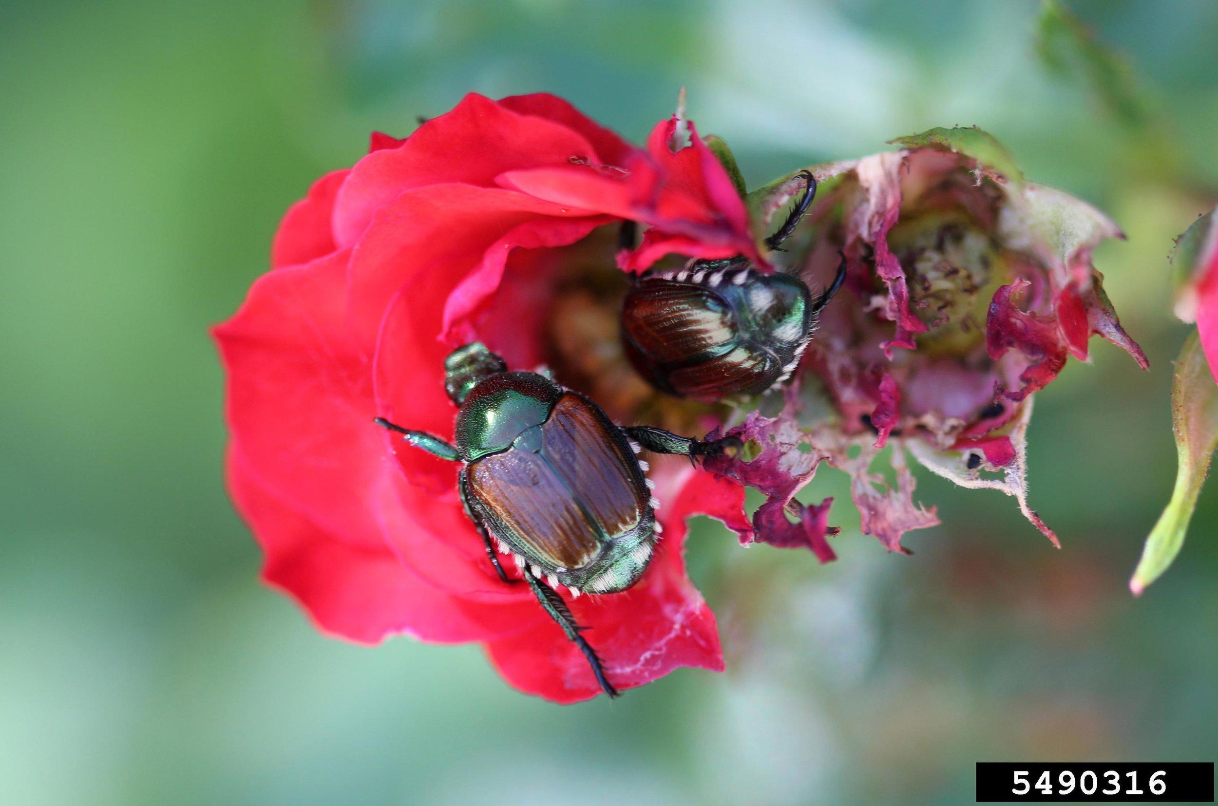 Figure 13: Adult Japanese beetles feeding on roses. Credit: Whitney Cranshaw, Bugwood.org