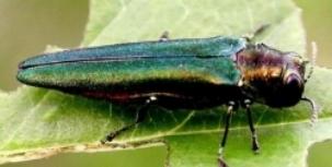 Emerald ash borer (photo by Leah Bauer, US Forest Service)