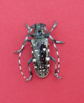 Asian longhorned beetle (photo by Michael Bohne, USDA Forest Service)