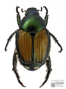 Japanese_beetle-224x300.jpg