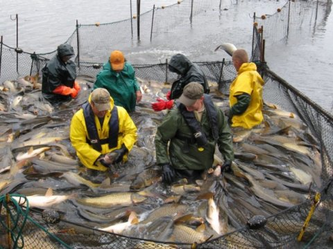 S.D. GFP biologists Dave Lucchesi and Todd St. Sauver, front; Matt Hennen, in orange cap, and crew remove carp from Lake Norden. Credit: Image courtesy of South Dakota State University.