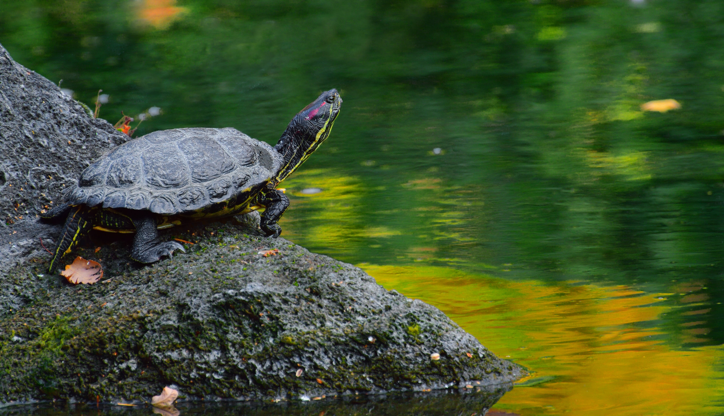 "The ""Red-eared slider"" is a common pet turtle native to the Eastern U.S. that has devastating effects to our native turtle populations. Adobe Stock Photo."