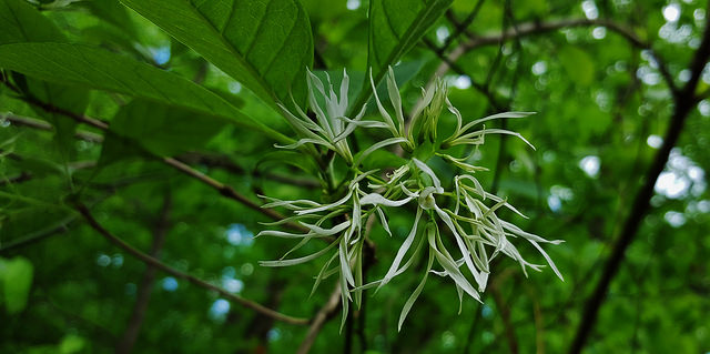 A close-up photo of a white fringetree taken in Maryland (Photo credit: Flickr).