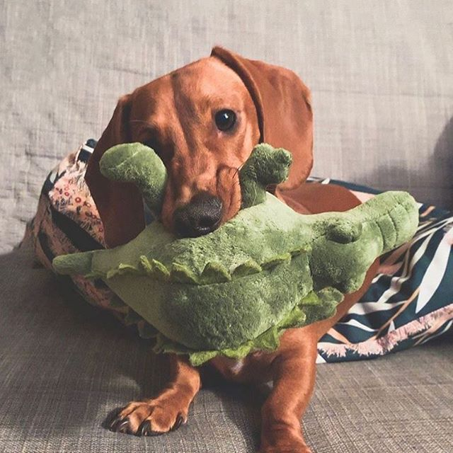 Loving our friend @sirrusthedachshund_ who's getting ready for a wild weekend! What are your plans?