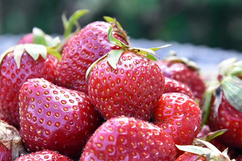 Freshly picked Johnson's strawberries
