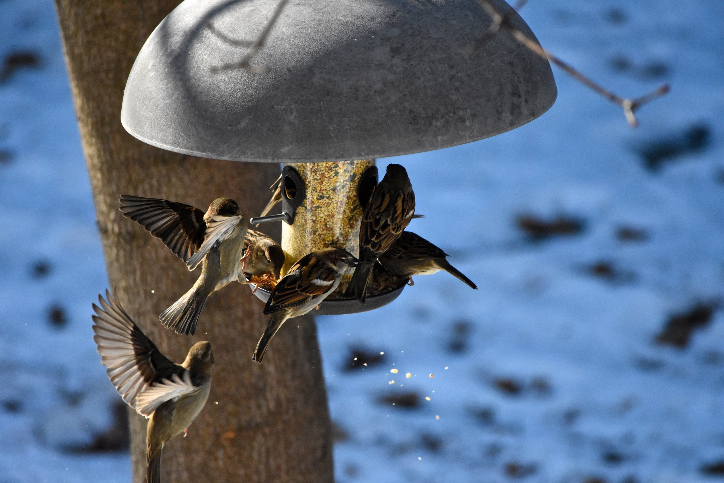 Sparrows desperately clamber for access to a feeder as food sources dwindle.