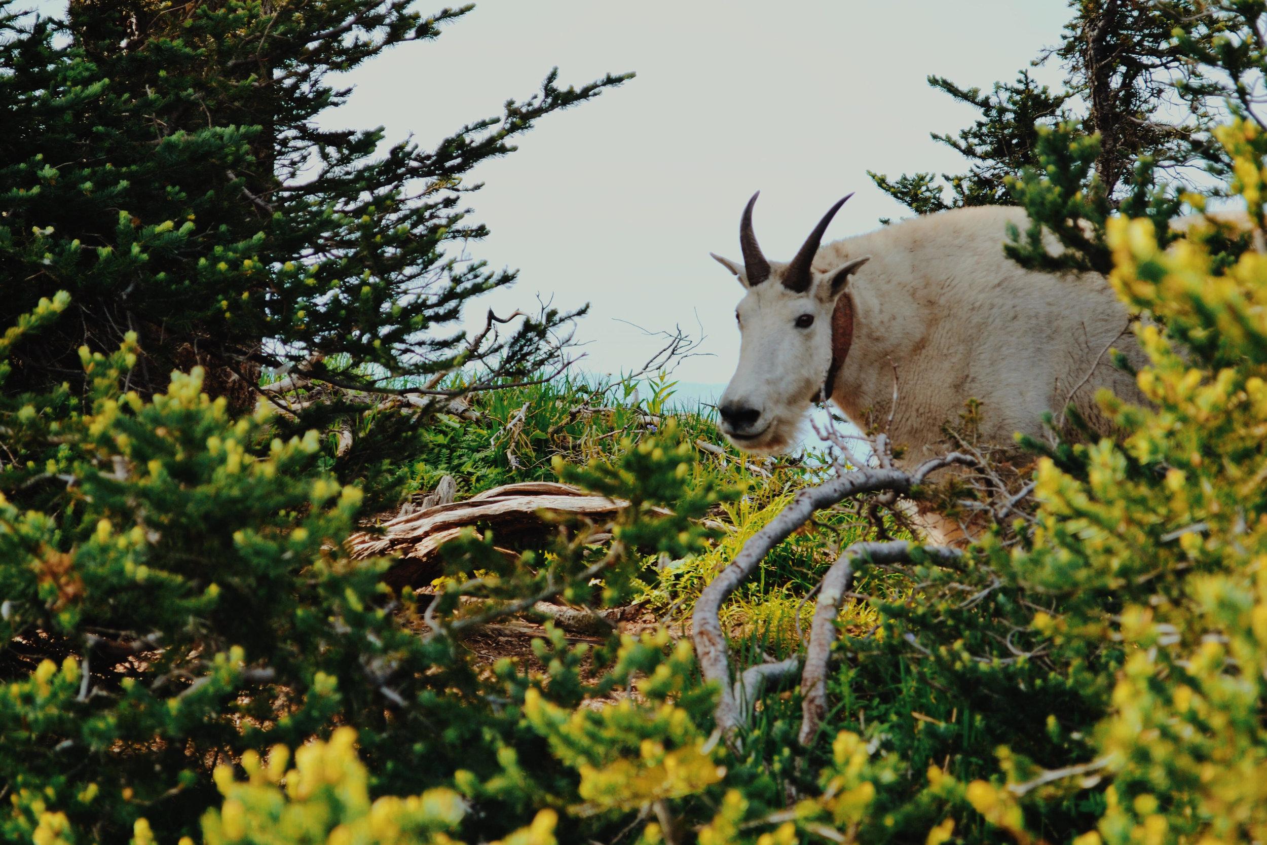 unnamed goat.jpg