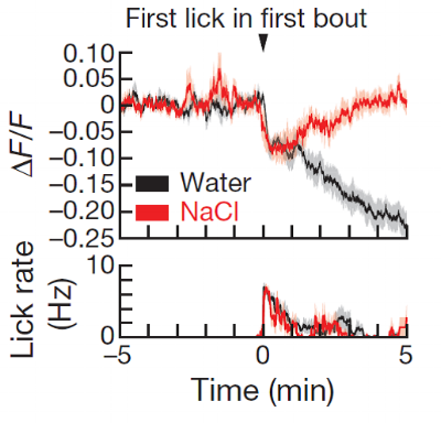 When a thirsty mouse drinks high-osmolarity saline, its SFO neuron activity initially drops (fast information about drinking from the mouth) but then recovers (slow information about osmolarity from the blood). Figure adapted from Zimmerman et al