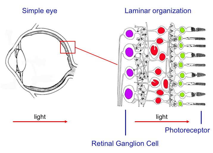 Fig 3. Eye of the Rana Catesbiana, or American Bullfrog. Photoreceptors are shown in green, interneurons in red, and ganglion cells in purple.