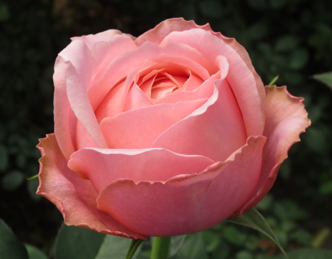 Romantic Garden Rose Collection