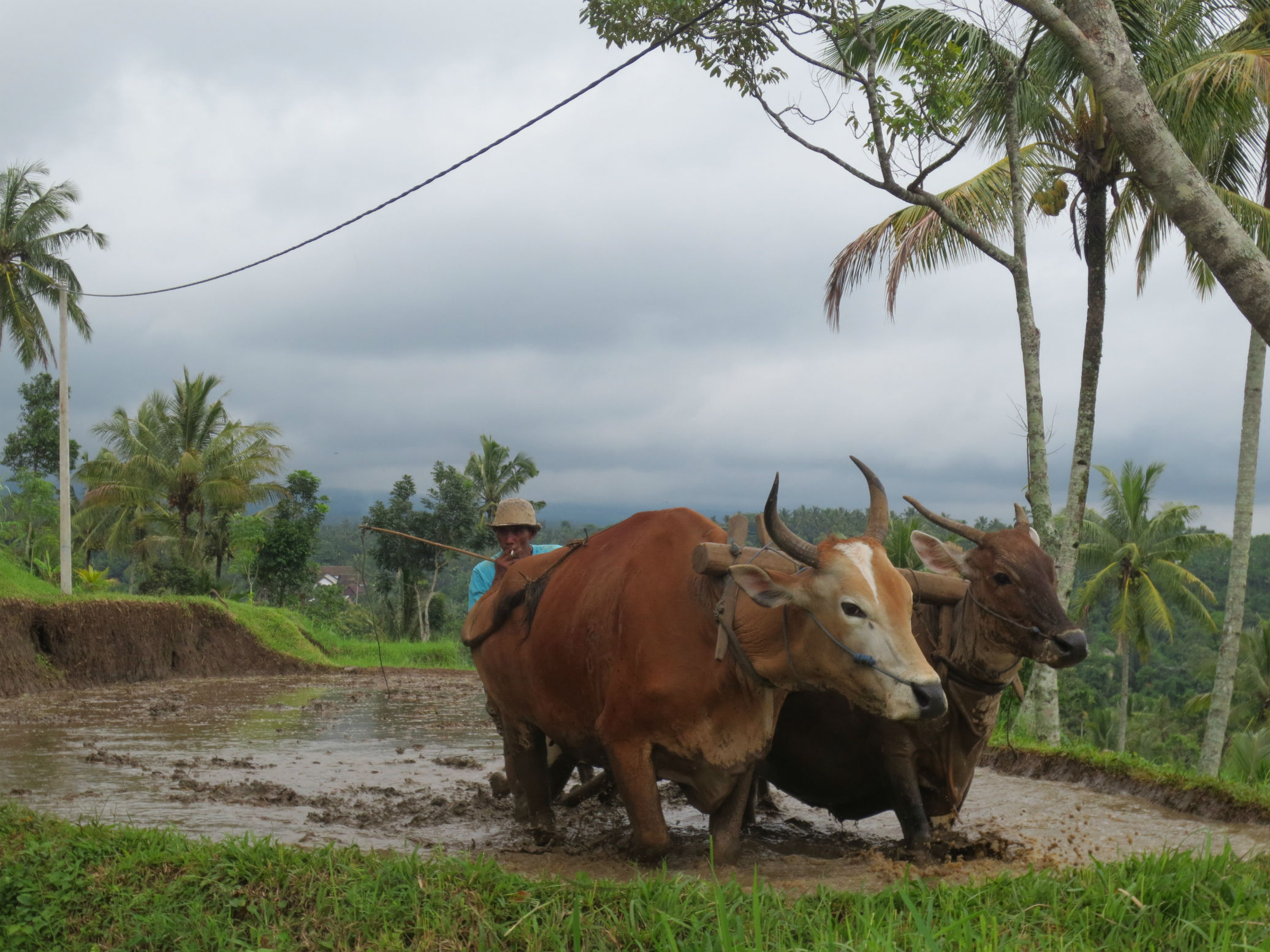 Buffalo working the paddy fields