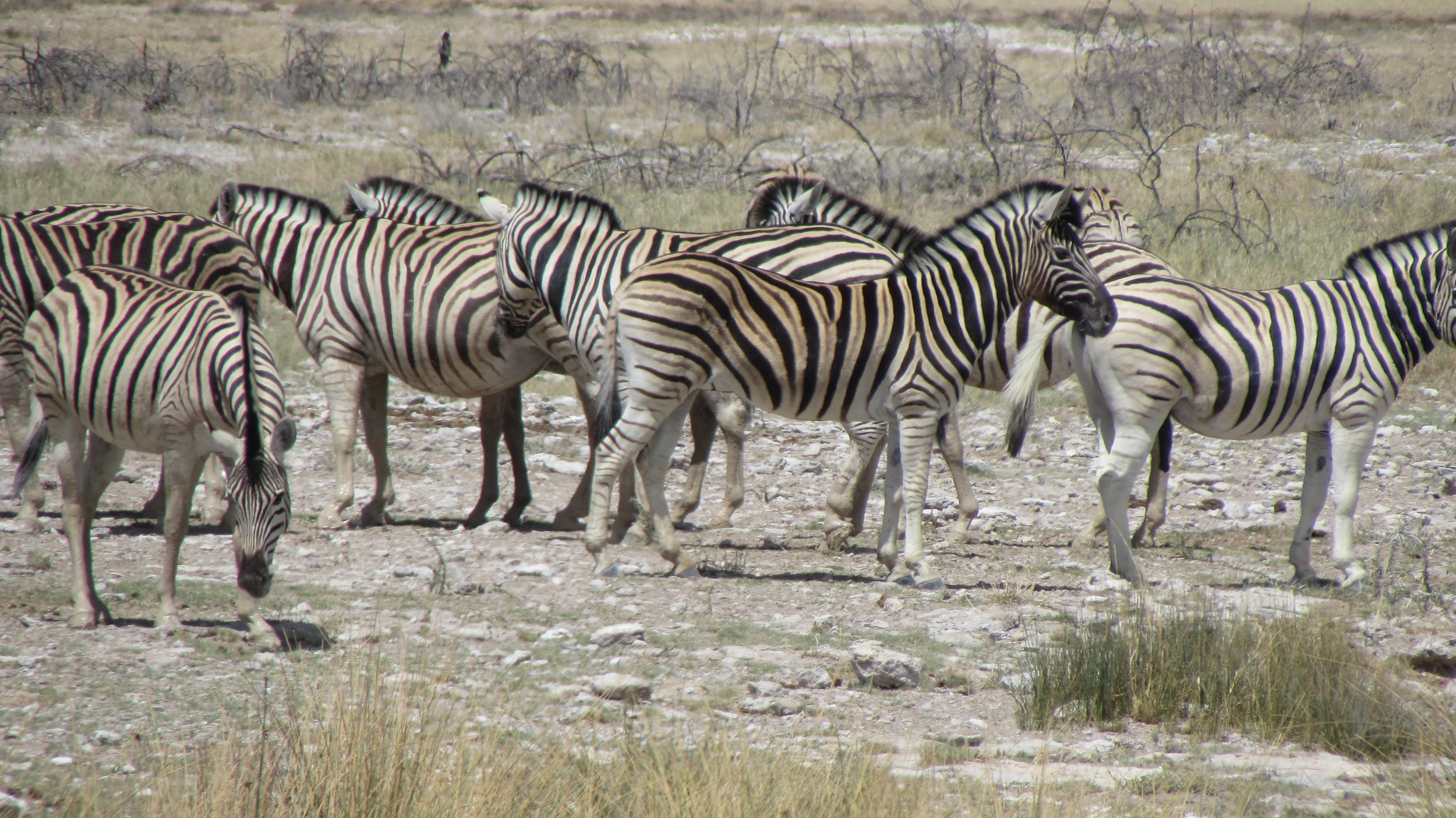 Very nervous zebra's near the waterhole