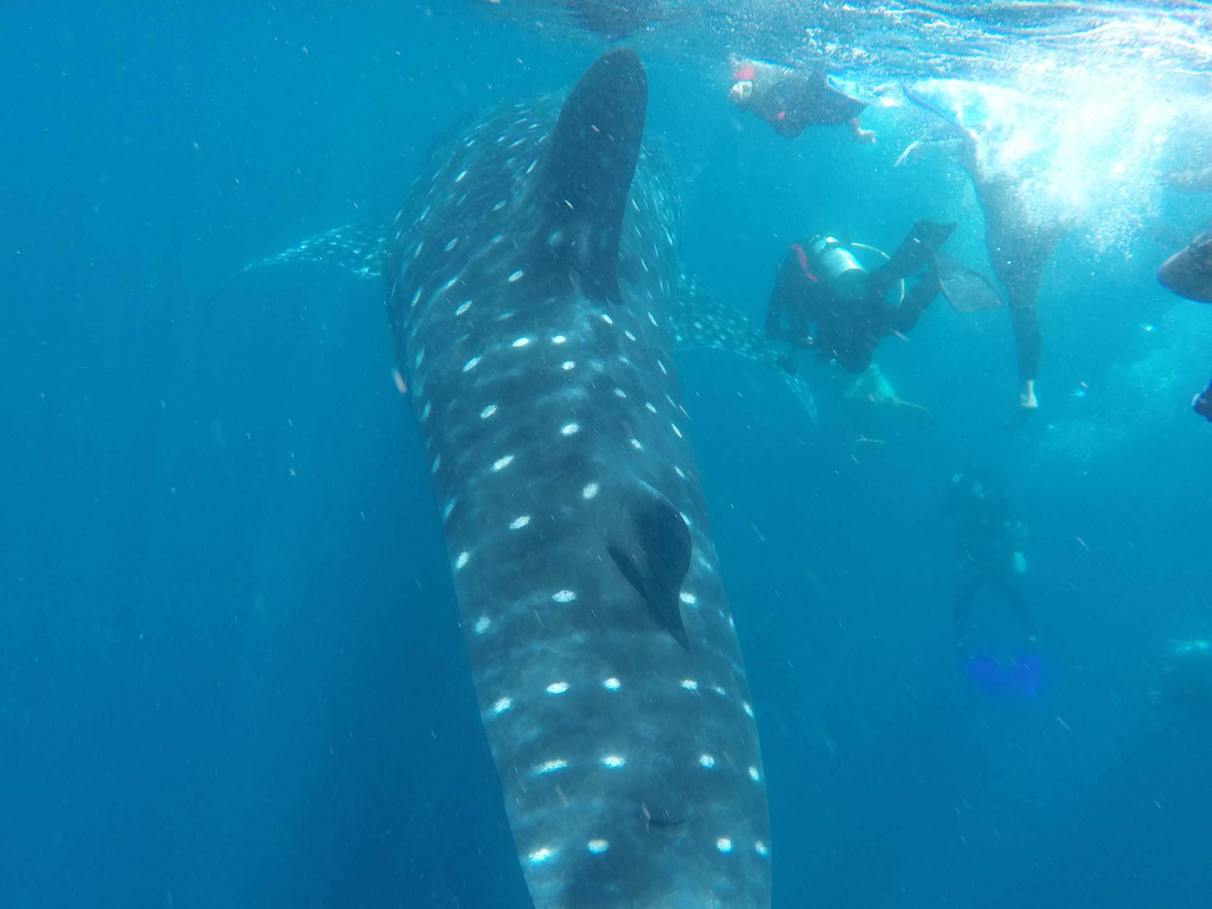 Following the whale shark