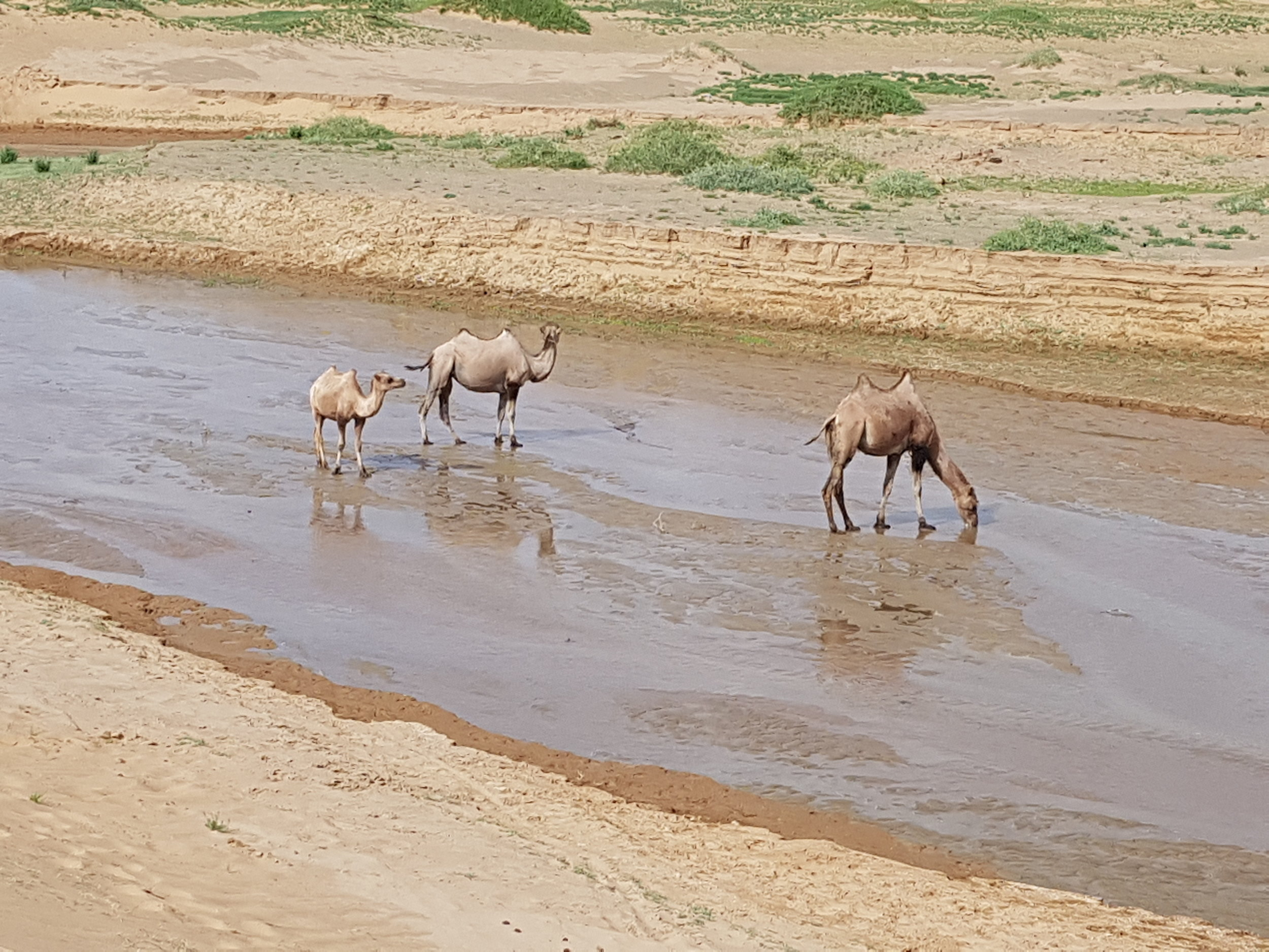 Bactrian camels drinking in the Gobi Desert