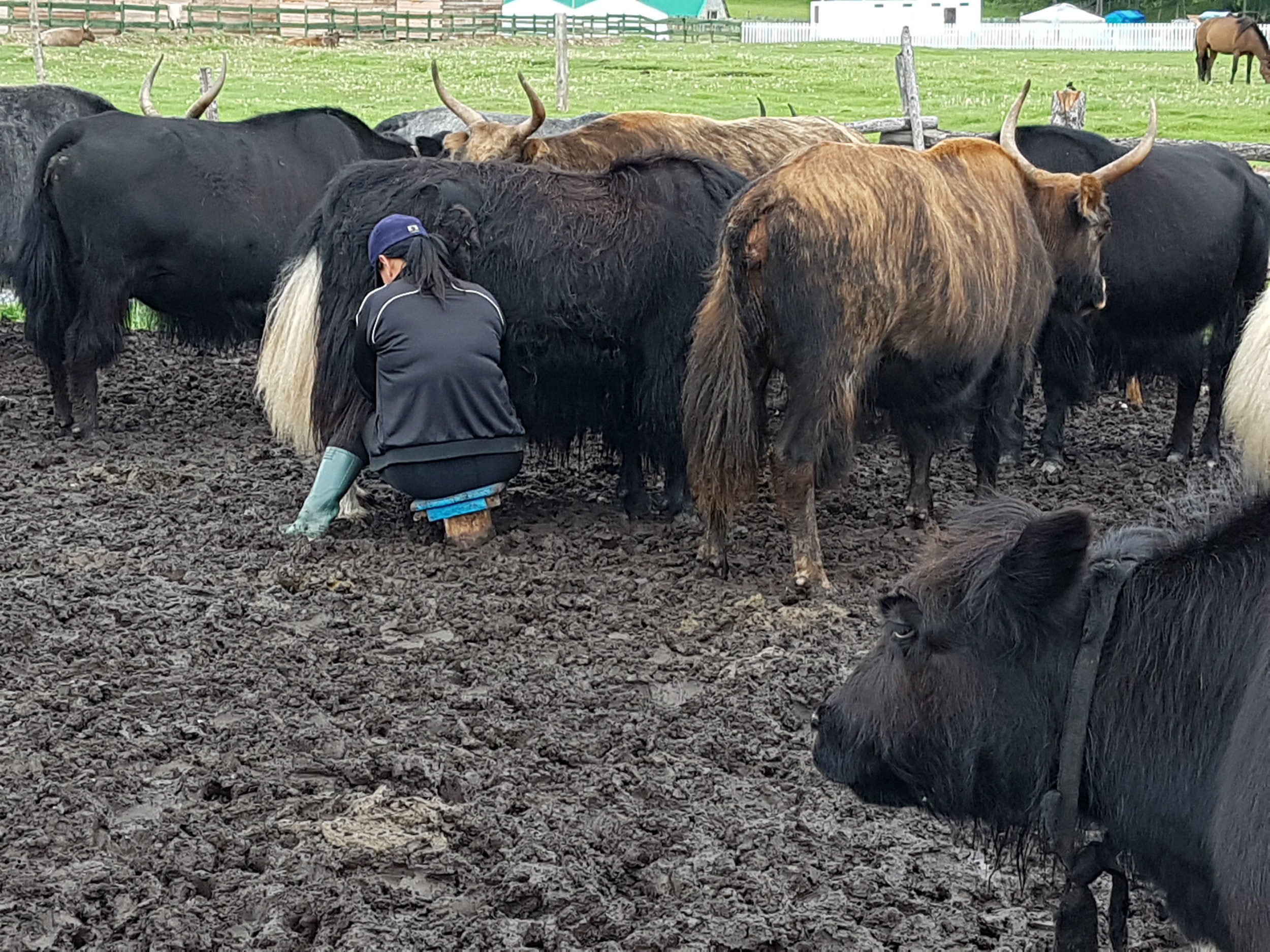 Milking the yaks early evening