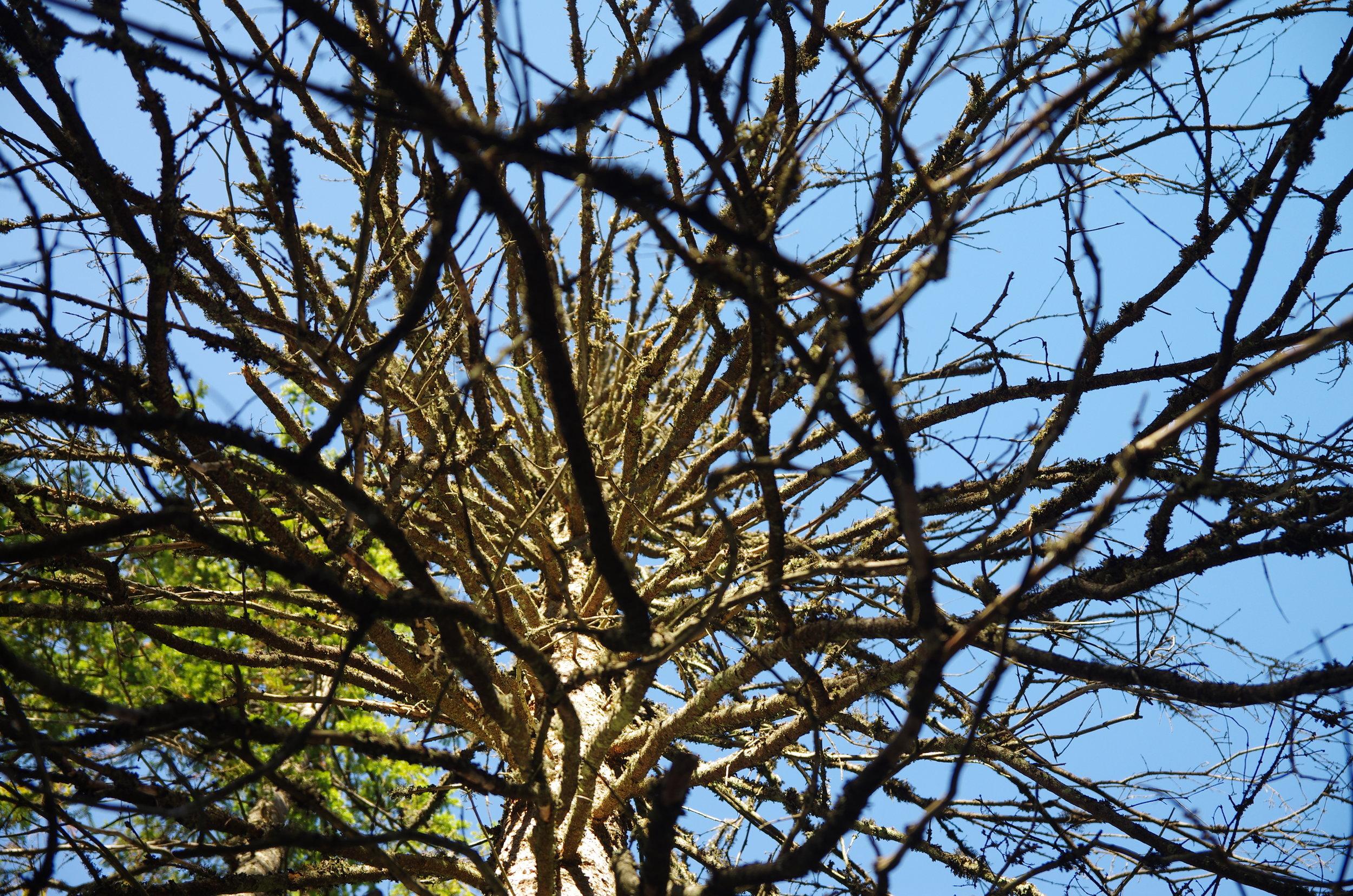 En gammel majestetisk «gadd» (stående døde trær)
