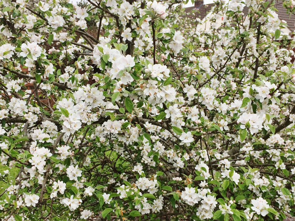 our apple tree in blossom.jpg