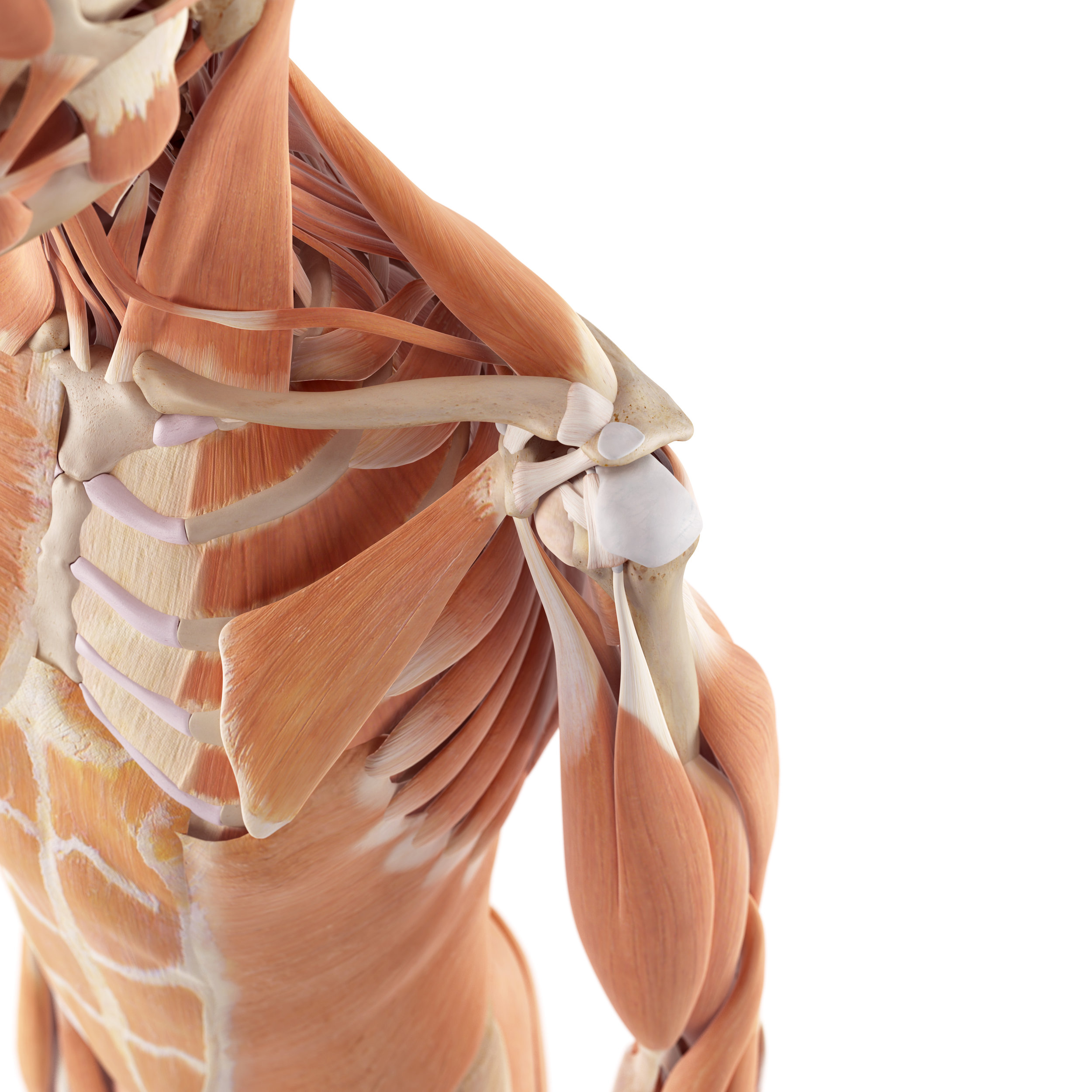 Four Things That Can Affect Your Shoulder Mobility_Shoulder Joint