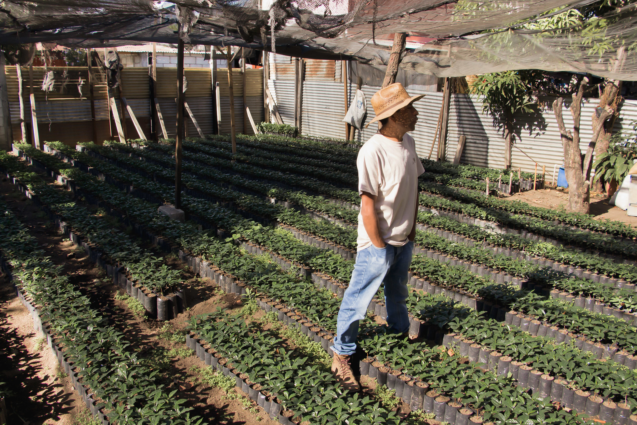 FELIX PORÓN MEDIO STANDS IN BETWEEN ROWS OF HIS INFANT COFFEE PLANTS IN THE CITY OF SAN MIGUEL DUEÑA, GUATEMALA. PORÓN PLANTED HIS FIRST COFFEE SEED ON HIS PARENTS' FARM 20 YEARS AGO.