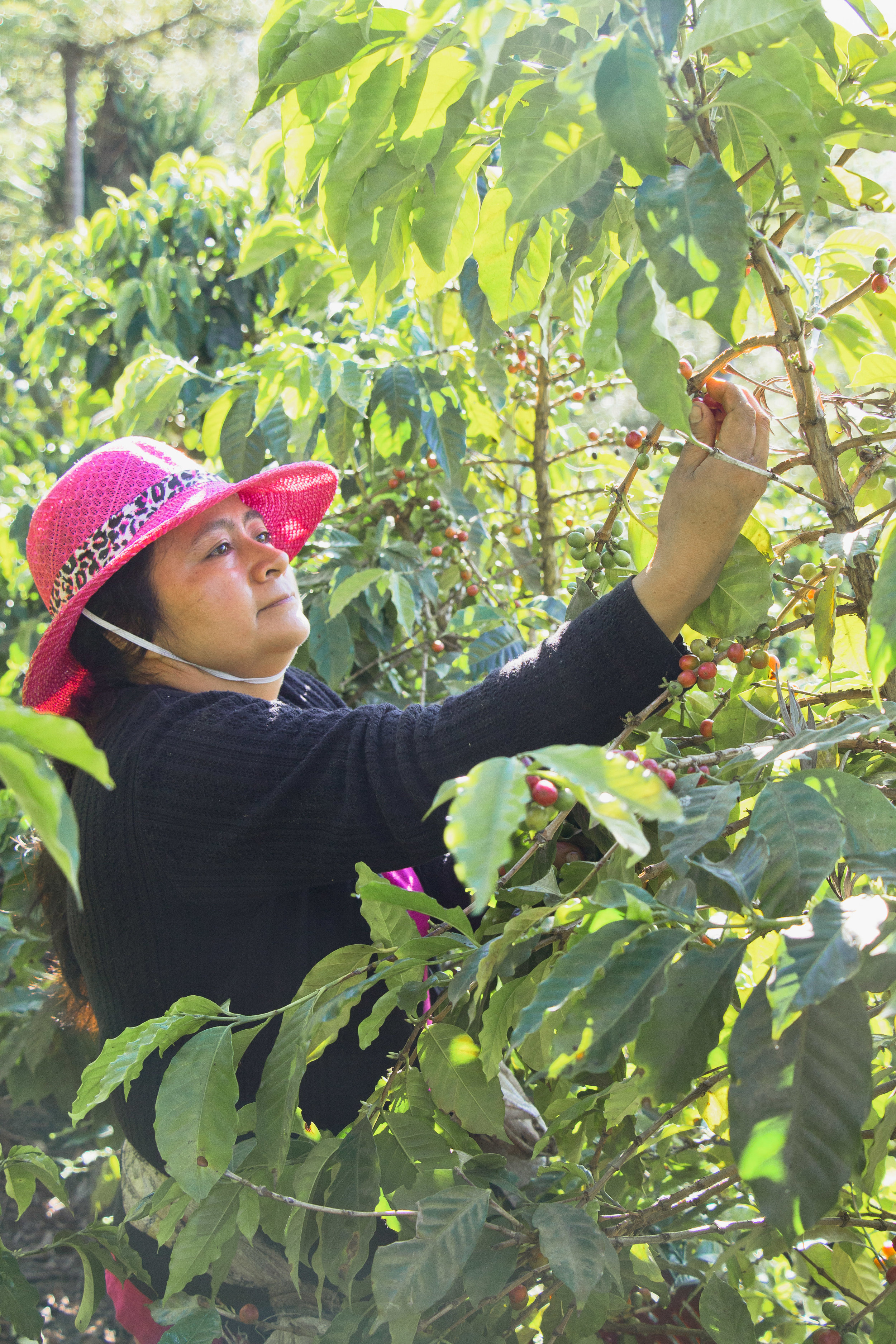 MARTHA EUGENIA JEREZ, FELIX PORÓN MEDIO'S WIFE, PICKS COFFEE CHERRIES ON THE COFFEE FARM ON JAN. 18. EUGENIA SPENDS HER TIME ON THE FARM WITH ADDITIONAL WORKERS, ON AVERAGE, ABOUT TWO TIMES A YEAR.