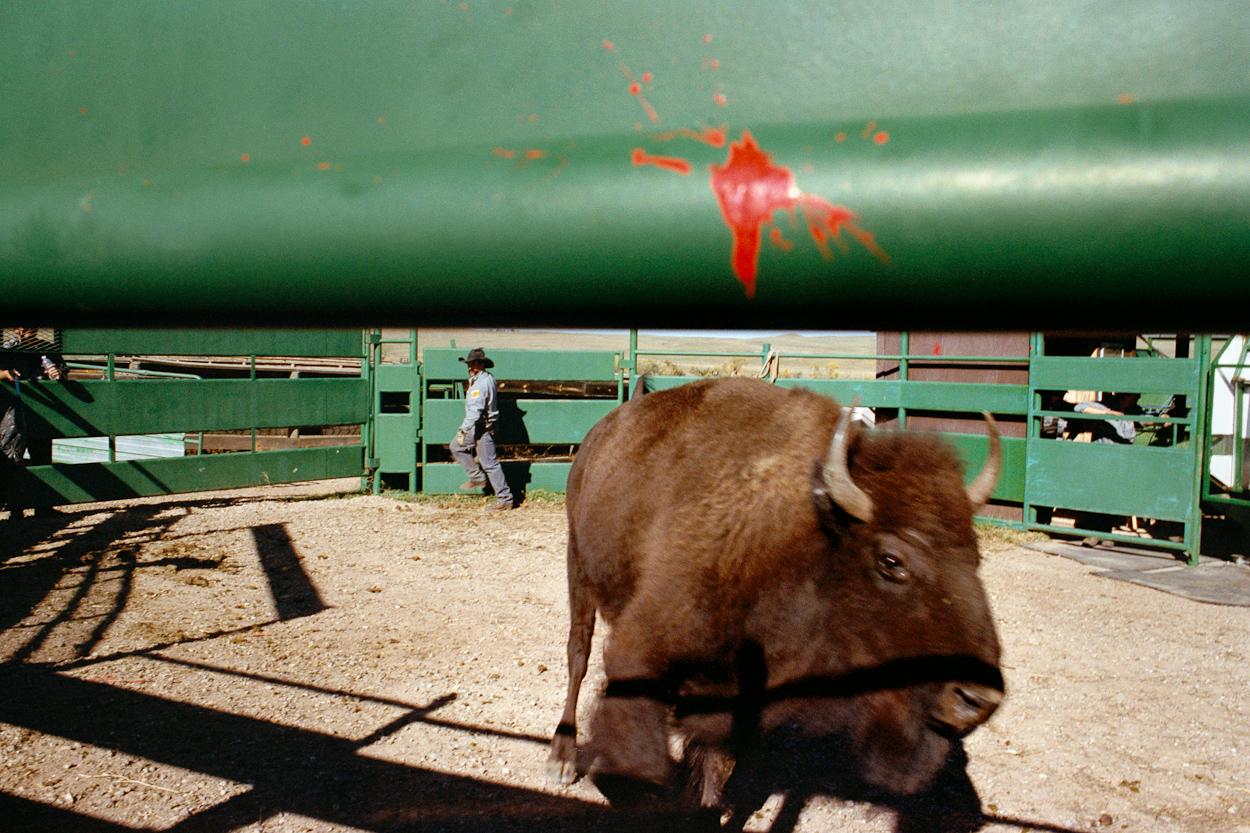 REBECCA NORRIS WEBB Buffalo Roundup (from the series My Dakota), 2012