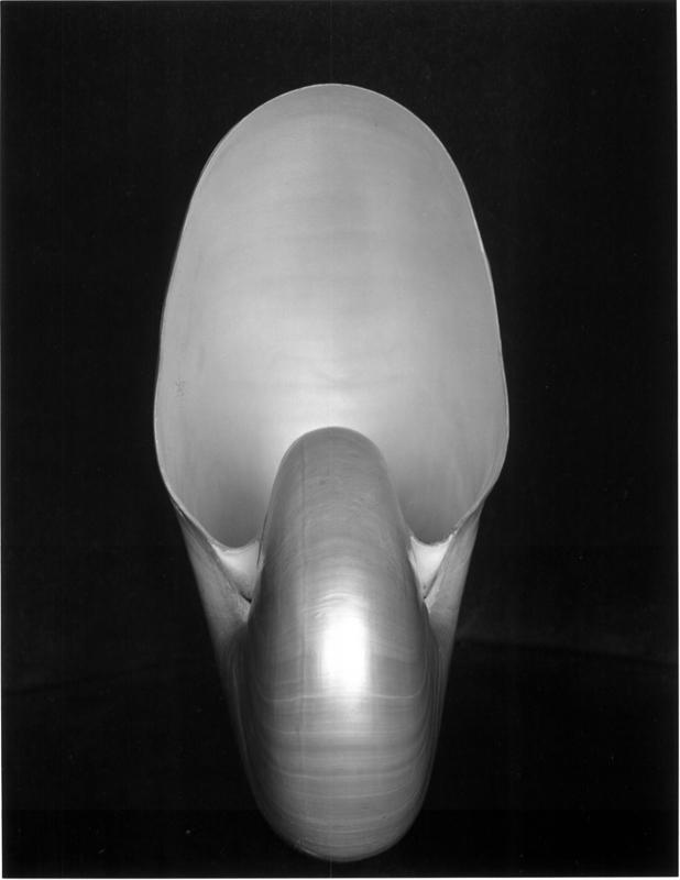 EDWARD WESTON,  Shell , 1927