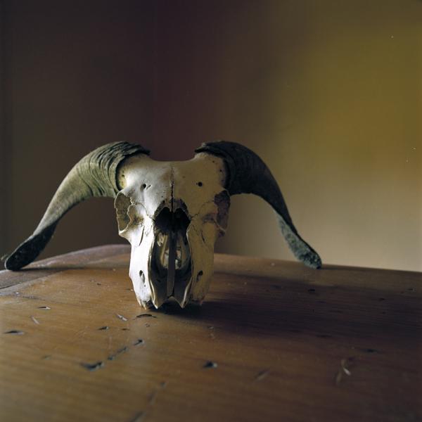 WENDY BURTON,  Ovis aries #2 (Sheep/Ram) , 2011