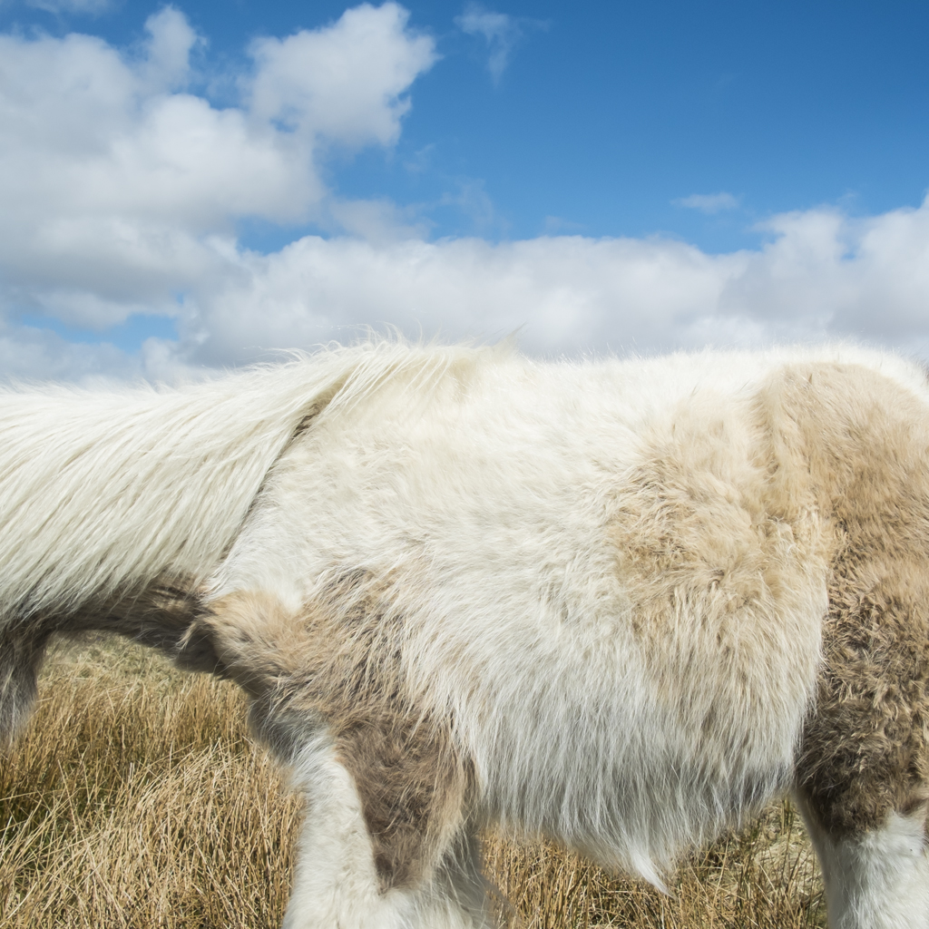 CIG HARVEY,  Dartmoor Pony  , 2013
