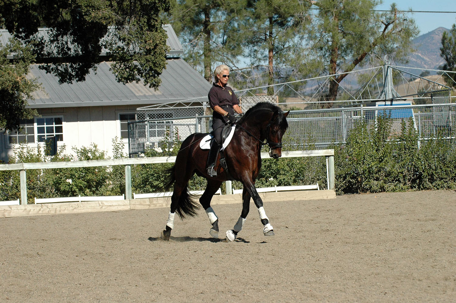 Lafayette Lord , Rhinelander Stallion, trained to Grand Prix by Ingrid Klimke, imported for Alix from Germany.
