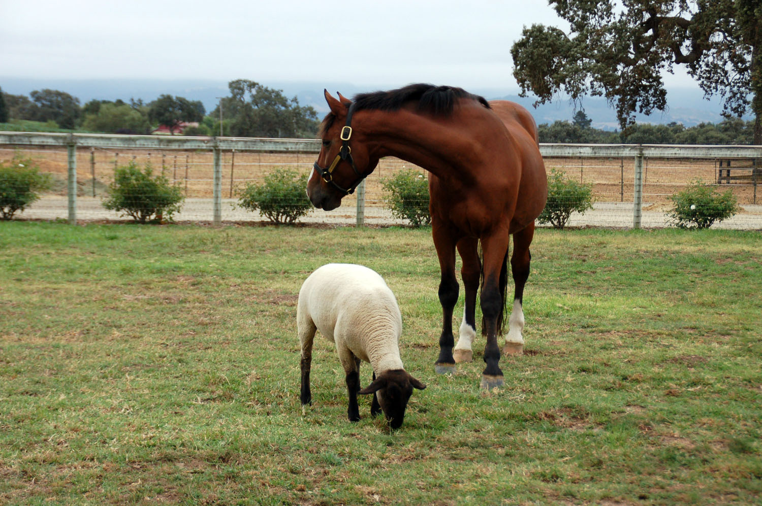 Alvaretto and Lam Lam, buddies to the end! On irrigated pasture.