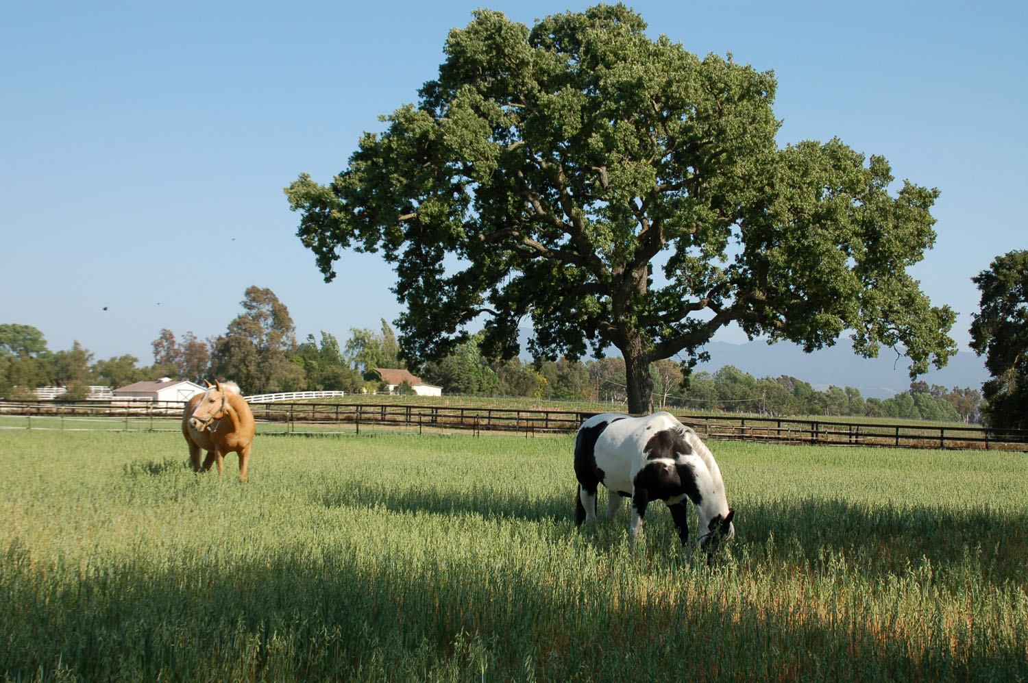 Two of our horses, Oro and Domino enjoying grass pasture made lush by the winter and spring rains.