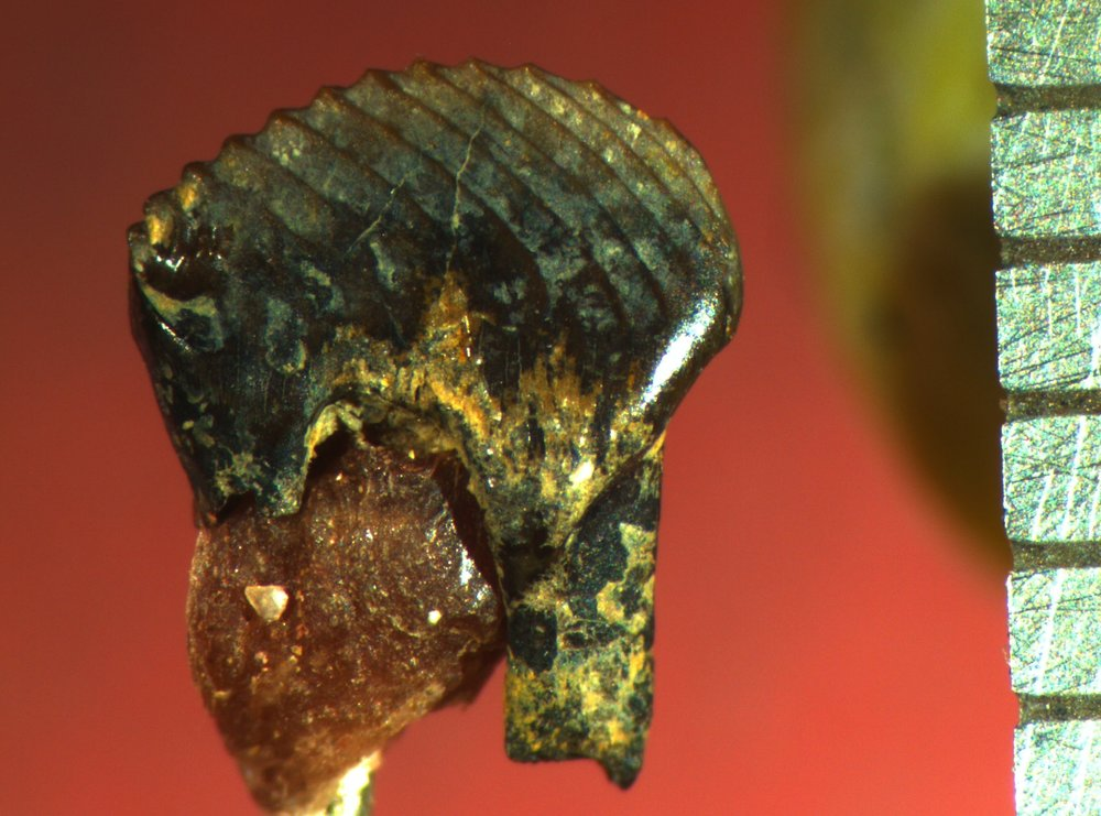 A lower fourth premolar of  Mesodma thompsoni .
