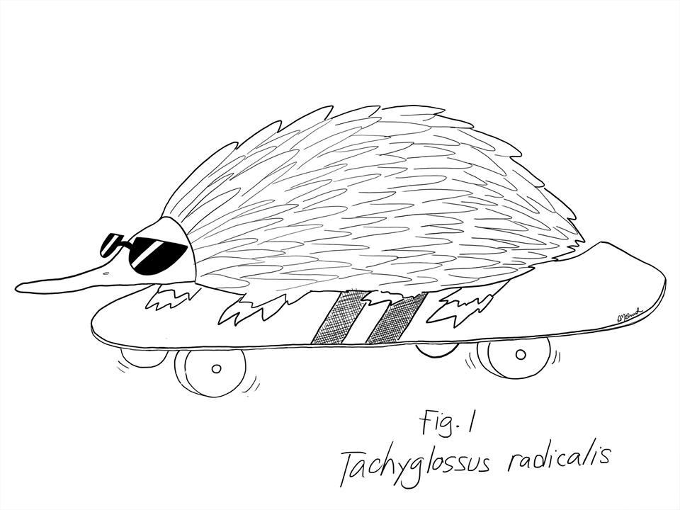 Tachyglossus radicalis  2015.